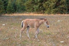 野马-在赛克斯里奇的暗褐色小驹马驹在蒙大拿和怀俄明美国的边界的普莱尔山野马范围的 库存照片