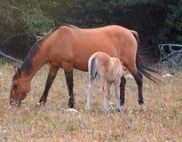 野马-小护理他的普莱尔山野马范围的驹马驹母亲在蒙大拿和怀俄明美国的边界 免版税库存照片