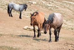 野马-红色软羊皮/讨债者鹿皮/蓝色软羊皮的公马在普莱尔山野马在蒙大拿美国排列 库存图片