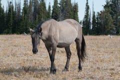 野马Grulla灰色在蒙大拿上色了在赛克斯里奇的母马普莱尔山的 库存图片