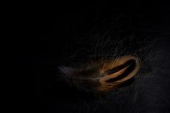 野鸡在柔和的光用羽毛装饰反对黑背景 免版税图库摄影