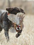 野鸡狩猎 免版税库存照片