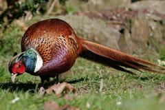 野鸡男性啄在与长尾巴的草 免版税图库摄影