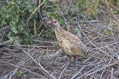 野鸡的女性在状态鸟舍为与随后发行的再生产被保留入自然生态环境 哺养和c 免版税库存图片