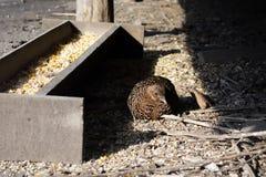 野鸡的女性在状态鸟舍为与随后发行的再生产被保留入自然生态环境 哺养和c 库存图片