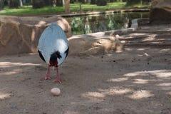 野鸡美丽和典雅的野生生物在公园 免版税图库摄影