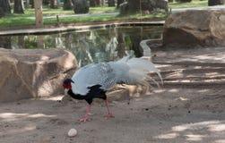 野鸡美丽和典雅的野生生物在公园 图库摄影