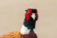 野鸡头 免版税图库摄影