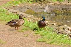 野鸭、男性和女性湖的岸的 库存图片