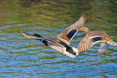 野鸭、男性和女性飞行在河 免版税库存图片