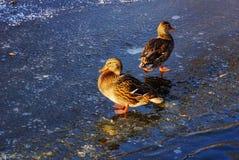 野鸭两只鸭子在冷的冰的由水在冬天 库存照片