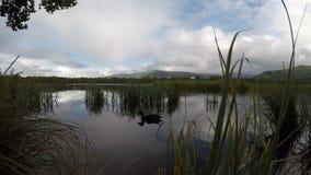 野鸭低头镇静反射性池塘表面上的游泳 股票录像