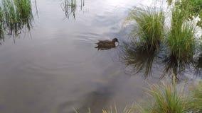 野鸭低头镇静反射性池塘表面上的游泳 影视素材