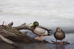 野鸭低头男性和女性冬天 免版税库存图片