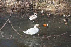 野鸭和一只天鹅在水 免版税库存照片