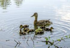 野鸭和小的鸭子 图库摄影