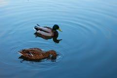 野鸭和雄鸭在城市游泳 库存图片