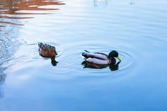 野鸭和雄鸭在城市游泳 免版税库存图片