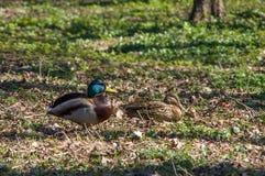 野鸭和雄鸭 库存照片
