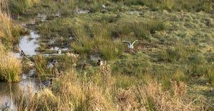 野鸭和黄色有腿的鸥 免版税图库摄影