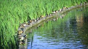 野鸭在公园采取地方 库存照片
