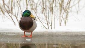 野鸭在冬天 库存照片