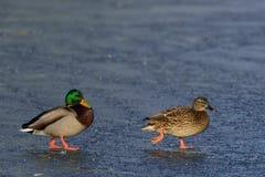 野鸭在冬天 库存图片