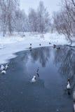 野鸭在冰和雪中的一个结冰的冬天池塘游泳 免版税库存图片