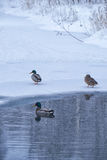 野鸭在冰和雪中的冬天池塘游泳 库存照片