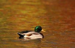 野鸭在橙色水的鸭子游泳在黄昏的秋天 库存照片