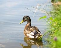 野鸭在池塘低头放松 免版税图库摄影