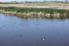 野鸭在池塘低头游泳 免版税库存图片