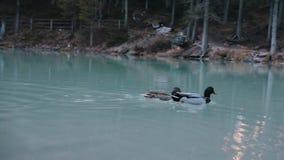 野鸭在湖在泥泞的水中游泳 影视素材