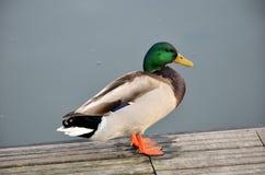 野鸭在湖 免版税库存图片