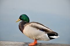 野鸭在湖 免版税图库摄影