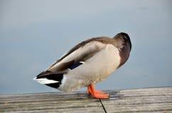 野鸭在湖 免版税库存照片