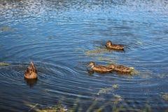 野鸭在落日的湖游泳 图库摄影