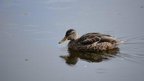 野鸭在镇静池塘岸的鸭子游泳与雨珠落的晚夏 股票视频
