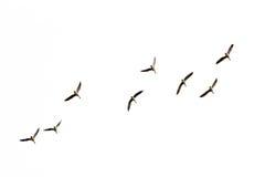 野鸭在飞行中,从下面看法,隔绝在白的语录platyrhynchos 免版税库存图片
