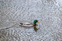 野鸭在Cocalico小河的鸭子游泳 免版税图库摄影