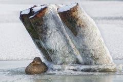 野鸭坐一条冻河的冰 图库摄影