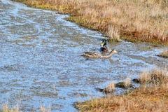野鸭夫妇在水中 库存照片