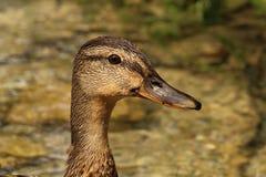 野鸭女性的画象-动物本质上 图库摄影