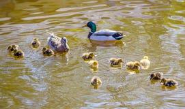 野鸭家庭在池塘游泳 免版税库存图片