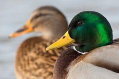 野鸭对 免版税库存图片