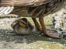 野鸭小鸡发现风雨棚在母亲下 免版税库存图片