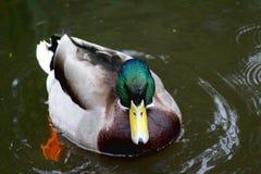 野鸭恼怒的看的鸭子 图库摄影