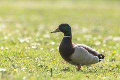野鸭或野鸭(语录platyrhynchos)搜寻 免版税库存照片