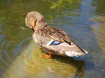 野鸭或野鸭 免版税库存照片