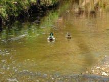 野鸭是所有家养的鸭子的前辈 免版税库存照片